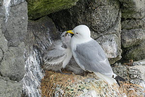 RF - Kittiwake (Rissa tridactyla) adult and chick. Grimsey Island, Iceland (This image may be licensed either as rights managed or royalty free.)  -  Terry  Whittaker