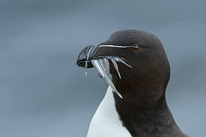 RF - Razorbill (Alca torda) adult with sandeels. Grimsey Island, Iceland (This image may be licensed either as rights managed or royalty free.)  -  Terry  Whittaker