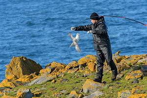 Scientist with a Fulmar (Fulmarus glacialis) captured to replace its geolocator. Staff from Natturustofa Noroausturlands (Northeast Iceland Nature Research Centre) catch seabirds at Skoruvikurbjarg bi...  -  Terry  Whittaker