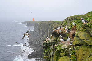 Puffins (Fratercula arctica) colony on cliffs on Grimsey Island, Iceland, July  -  Terry  Whittaker
