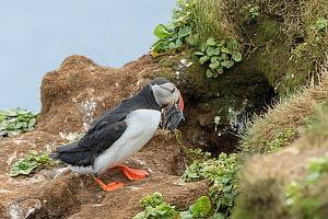 Puffin (Fratercula arctica) bringing Lesser sandeels (Ammodytes tobianus) back to burrow. Grimsey Island, Iceland, July  -  Terry  Whittaker