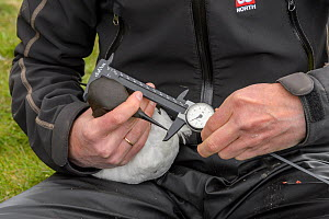 Scientist measuring a Common guillemot (Uria aalge). Staff from Natturustofa Noroausturlands (Northeast Iceland Nature Research Centre) catch seabirds at Skoruvikurbjarg bird cliffs on Langanes Penins...  -  Terry  Whittaker