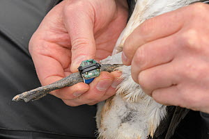 Scientist fitting a geolocator to a common guillemot (Uria aalge). Staff from Natturustofa Noroausturlands (Northeast Iceland Nature Research Centre) catch seabirds at Skoruvikurbjarg bird cliffs on L...  -  Terry  Whittaker