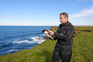 Scientist releasing a Brunnich's guillemot (Uria lomvia) captured to replace geolocator. Staff from Natturustofa Noroausturlands (Northeast Iceland Nature Research Centre) catch seabirds at Skoruv...  -  Terry  Whittaker