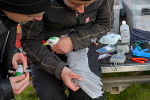 Scientists with a Kittiwake (Rissa tridactyla). Staff from Natturustofa Noroausturlands (Northeast Iceland Nature Research Centre) catch seabirds at Skoruvikurbjarg bird cliffs on Langanes Peninsula,...  -  Terry  Whittaker