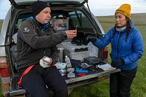 Scientists taking a blood sample from a Kittiwake (Rissa tridactyla). Staff from Natturustofa Noroausturlands (Northeast Iceland Nature Research Centre) catch seabirds at Skoruvikurbjarg bird cliffs o...  -  Terry  Whittaker