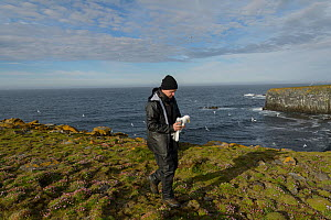 Scientist with a Kittiwake (Rissa tridactyla) captured to replace its geolocator. Staff from Natturustofa Noroausturlands (Northeast Iceland Nature Research Centre) catch seabirds at Skoruvikurbjarg b...  -  Terry  Whittaker