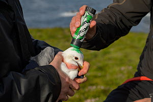 Marking a Kittiwake (Rissa tridactyla) captured to replace its geolocator with green dye so it won't be recaptured that season. Staff from Natturustofa Noroausturlands (Northeast Iceland Nature Re...  -  Terry  Whittaker