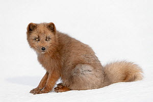 Arctic fox (Alopex lagopus) blue colour morph in winter coat sitting in snow, Hornstrandir, Iceland. March  -  Terry  Whittaker