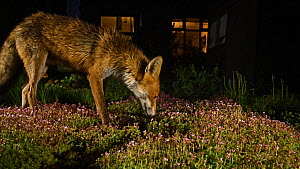 Red fox (Vulpes vulpes) vixen feeding in an urban garden at night, Greater Manchester, England, UK, November.  -  Terry  Whittaker
