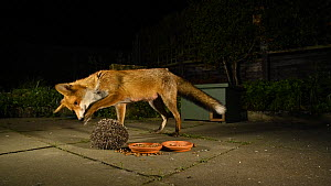 Red fox (Vulpes vulpes) trying to pry open a rolled up Hedgehog (Erinaceus europaeus) in an urban garden at night, Greater Manchester, England, UK, November.  -  Terry  Whittaker