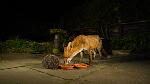 Red fox (Vulpes vulpes) feeding in an urban garden at night, with a Hedgehog (Erinaceus europaeus) rolled up in defense nearby, Greater Manchester, England, UK, November.  -  Terry  Whittaker