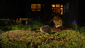 Red fox (Vulpes vulpes) stalking a Hedgehog (Erinaceus europaeus) in an urban garden at night, hedgehog rolled in defensive posture, Greater Manchester, England, UK, November.  -  Terry  Whittaker