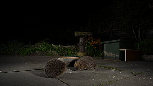 Hedgehog (Erinaceus europaeus) backing away from another hedgehog in an urban garden at night, Greater Manchester, England, UK, November.  -  Terry  Whittaker