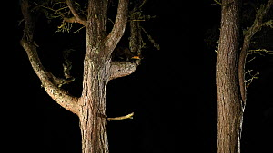 Pine marten (Martes martes) climbing and leaping between Scots pine trees (Pinus sylvestrris) at night, Black Isle, Scotland, UK, November.  -  Terry  Whittaker