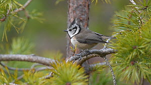 Crested tit (Lophophanes cristatus) singing in a conifer, Black Isle, Scotland, UK, November.  -  Terry  Whittaker