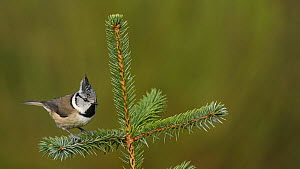 Crested tit (Lophophanes cristatus) taking off from a conifer, Black Isle, Scotland, UK, November.  -  Terry  Whittaker