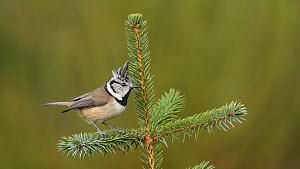 Crested tit (Lophophanes cristatus) landing in and taking off from a conifer, Black Isle, Scotland, UK, November.  -  Terry  Whittaker