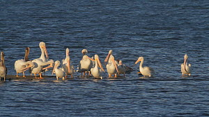 Mixed group of American white pelicans (Pelecanus erythrorhynchos) and Brown pelicans (Pelecanus occidentalis) preening whilst roosting on a tidal flat, Bolsa Chica Ecological Reserve, Southern Califo...  -  John Chan