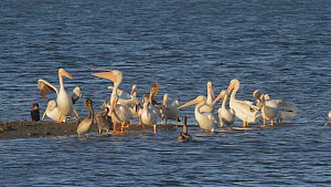 Mixed group of American white pelicans (Pelecanus erythrorhynchos) and Brown pelicans (Pelecanus occidentalis) preening on a tidal flat, with mating Bat rays (Myliobatis californica) swimming behind t...  -  John Chan