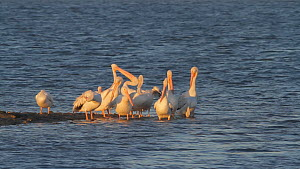 Group of American white pelicans (Pelecanus erythrorhynchos) preening and jostling for space while roosting on a tidal flat, Bolsa Chica Ecological Reserve, Southern California, USA.  -  John Chan