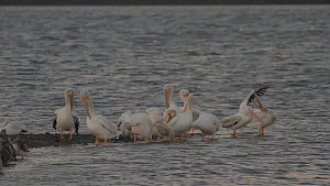 Group of American white pelicans (Pelecanus erythrorhynchos) preening and stretching while roosting on a tidal flat, Bolsa Chica Ecological Reserve, Southern California, USA.  -  John Chan