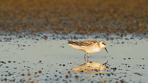Red necked phalarope (Phalaropus lobatus) foraging for aquatic invertebrates in a salt marsh, Bolsa Chica Ecological Reserve, Southern California, USA, August.  -  John Chan