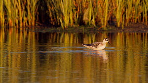 Red necked phalarope (Phalaropus lobatus) foraging for aquatic invertebrates in a salt marsh, winter plumage, Bolsa Chica Ecological Reserve, Southern California, USA, August.  -  John Chan