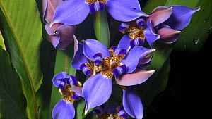 Timelapse of Walking iris (Neomarica caerulea) flowers opening. Controlled conditions, native to Brazil.  -  Derek Galon