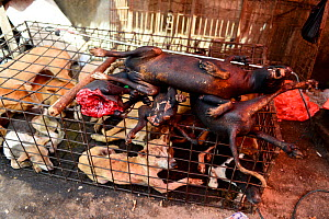 Cooked dog meat resting on cage with live dogs. Tomohon food market, north of Sulawesi, Indonesia.  -  Enrique Lopez-Tapia