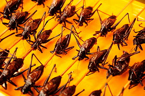 Crickets on skewers. Open-air food market in central Beijing, China.  -  Enrique Lopez-Tapia