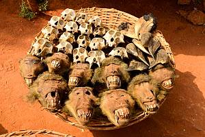 Olive baboon (Papio anubis) heads and skulls for sale alongside hornbills at the voodoo market in Abomey, Benin, West Africa. Any wild animal that runs, flies, jumps or crawls is hunted to supply thes...  -  Enrique Lopez-Tapia