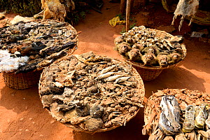 Hornbills, baboons, snakes, birds, chameleons, hedgehogs, frogs and squirrels for sale at the voodoo market in Abomey, Benin, West Africa. Any wild animal that runs, flies, jumps or crawls is hunted t...  -  Enrique Lopez-Tapia
