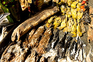 A cobra, owlets and other birds for sale in the voodoo market in Abomey, Benin, West Africa. Any wild animal that runs, flies, jumps or crawls is hunted to supply these markets for voodoo ceremonies.  -  Enrique Lopez-Tapia