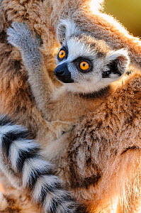 Baby ring-tailed lemur (Lemur catta). Carried by mother. Berenty Private Reserve, southern Madagascar.  -  Nick Garbutt