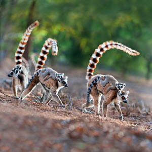 Female ring-tailed lemurs (Lemur catta) carrying infants (3-4 weeks) on their backs across open ground. Berenty Private Reserve, southern Madagascar.  -  Nick Garbutt