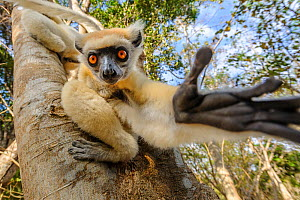 Golden-crowned or Tattersall's sifaka (Propithecus tattersalli), forests near the village of Andranotsimaty, near Daraina, northern Madagascar.  -  Nick Garbutt