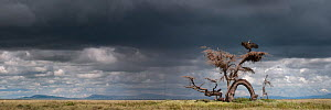 RF - Ruppell's griffon vulture (Gyps rueppellii) drying its wings after a rain storm, perched on strangely gnarled tree (known locally as the 'Devil Tree'). Ngorongoro Conservation Area, S...  -  Nick Garbutt