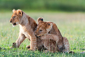 RF - African Lion cubs (Panthera leo) age four months, playing, Big Marsh, near Ndutu, Ngorongoro Conservation Area / Serengeti National Park, Tanzania. (This image may be licensed either as rights ma...  -  Nick Garbutt