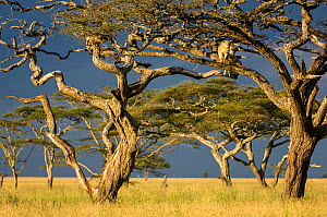 RF - African lioness (Panthera leo) using Umbrella acacia tree (Acacia tortillis) as a lookout. Ngorongoro Conservation Area / Serengeti National Park, Tanzania. (This image may be licensed either as...  -  Nick Garbutt