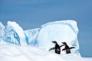 RF - Adelie penguin (Pygoscelis adeliae) on iceberg. Graham Passage, Antarctic Peninsula, Antarctica. (This image may be licensed either as rights managed or royalty free.)  -  Nick Garbutt