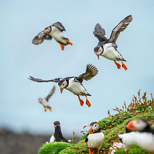 RF - Atlantic Puffins (Fratercula arctica) flying on to the cliff top and gathering around burrows. Isle of Lunga, Treshnish Isles, Isle of Mull, Scotland. (This image may be licensed either as rights...  -  Nick Garbutt