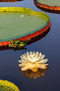 RF - Giant water lilies (Victoria amazonica) on a lake near Cuiaba River, Northern Pantanal, Brazil. (This image may be licensed either as rights managed or royalty free.)  -  Nick Garbutt