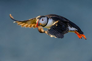 RF - Atlantic Puffin (Fratercula arctica) in flight. Isle of Lunga, Treshnish Isles, Isle of Mull, Scotland. (This image may be licensed either as rights managed or royalty free.)  -  Nick Garbutt
