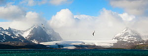 RF - Wandering albatross (Diomedea exulans) flying over the Bay of Isles with Salisbury Plain glacier in the background. South Georgia, South Atlantic. Digitally stitched image. (This image may be lic...  -  Nick Garbutt