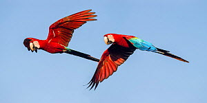 RF - Pair of Red-and-green macaws (Ara chloropterus) in flight. Chapada dos Guimaraes, Brazil. (This image may be licensed either as rights managed or royalty free.)  -  Nick Garbutt