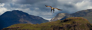 RF - White-tailed sea eagle (Haliaeetus albicilla) male swooping to take a fish from the water's surface. Loch Na Keal off the Isle of Mull, north west Scotland. (This image may be licensed either...  -  Nick Garbutt