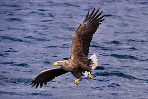 RF - White-tailed Sea Eagle (Haliaeetus albicilla), swooping to take a fish from the water's surface. Loch Na Keal off the Isle of Mull, north west Scotland. (This image may be licensed either as...  -  Nick Garbutt