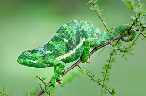 RF - Flap-necked chameleon (Chameleo dilepis) on Acacia bush. Ndutu Safari Lodge, Ngorongoro Conservation Area, Tanzania. (This image may be licensed either as rights managed or royalty free.)  -  Nick Garbutt