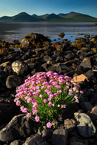 RF - Thrift (Armeria maritima) flowering on shoreline of Loch Na Keal, Isle of Mull, Scotland, June 2011 (This image may be licensed either as rights managed or royalty free.)  -  Nick Garbutt